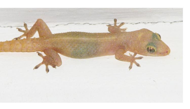 thelocalist.com-gecko-3