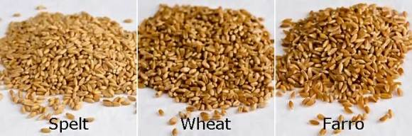 Spelt Hard Red Wheat Berries Emmer Farro Farro, Wild Mushroom, Fingerling Potato & Kale Risotto (Farrotto)