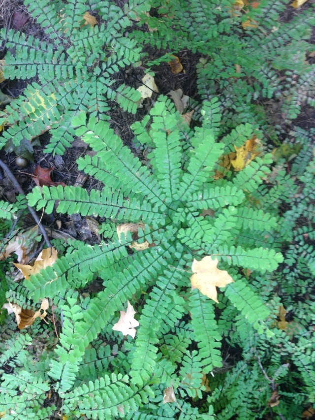 Maidenhair Ferns on Lost Lake Trail, Porcupine Mountains, Michigan