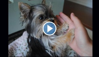 Misa Minnie, World's Cleverest Yorkie Puppy, Has 4 Minutes Of Tricks For You