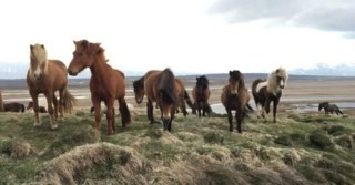 Majestic horses in Iceland surround man in the wild