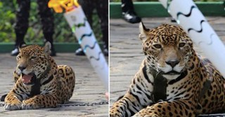 Jaguar Killed Moments After Being Used As Mascot In Olympic Torch Ceremony