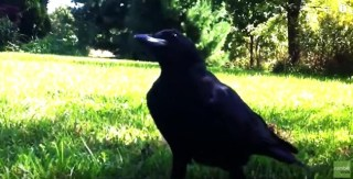 "Rescued Crows Visit the Family Who Saved Them Every Spring to Say ""Hello"""
