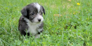 5 Maltese Mix Pups Feel Fear Then Elation When They Touch Grass For The First Time