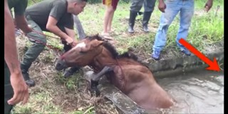 Rescuers Were Trying To Save This Horse… But Watch Who Comes Up From Behind Her!
