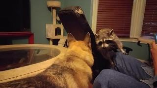 A Dog Playing With A Raccoon Is Just What You Need To See Today.