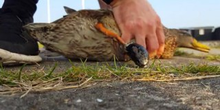 Duck Foot Save – Removed A Clam From A Ducks Foot