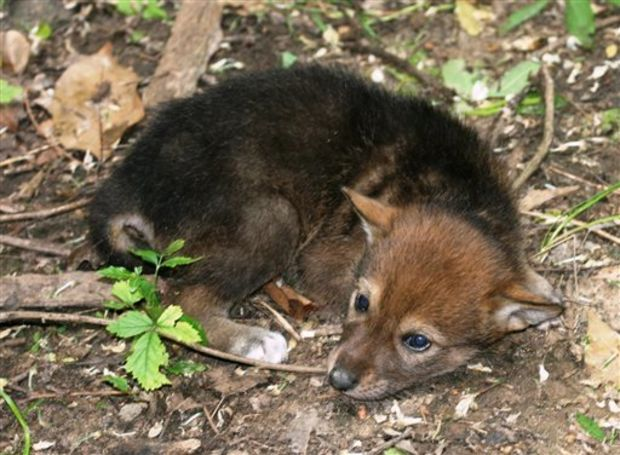 "This photo provided by the Jackson Zoo shows Nashoba Hikiya, one of the zoo's seven endangered red wolf pups on April 28, 2014. The pups are among eight born March 30 at the zoo in Jackson, Mississippi. This female was named by students at Standing Pine Elementary School, and her name means ""Standing Wolf"" in Choctaw. (AP Photo/Jackson Zoo)"