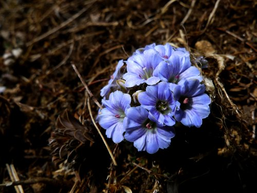 Flowers in the Himalayas (Photo: Laura Tomlinson)