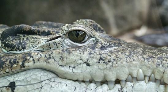 saltwater-crocodile-eye-open-sleep