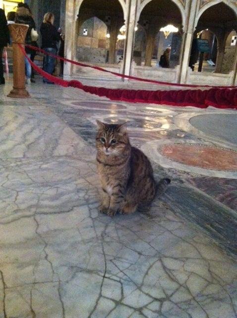 Luci - istanbul cat