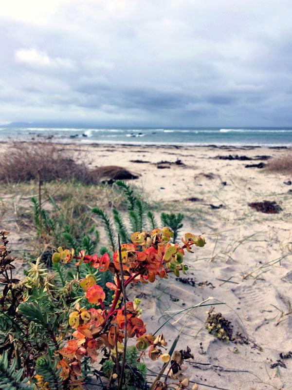 Gippsland Bear Gully Beach Orange Flower