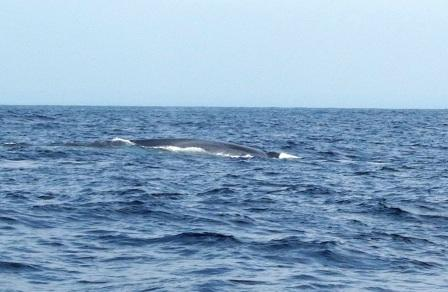 Blue whales, indian ocean sri lanka