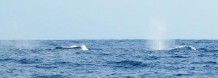 blue whales, sri lanka