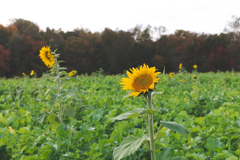 Virginia Sunflowers - The Overseas Escape-2