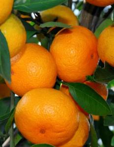 what is satsuma