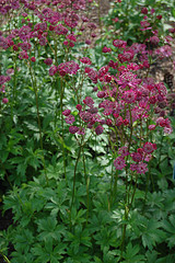 Drought tolerant, late spring blooming perennial