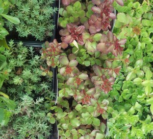 A variety of Sedums ready to be planted as ground-covers.