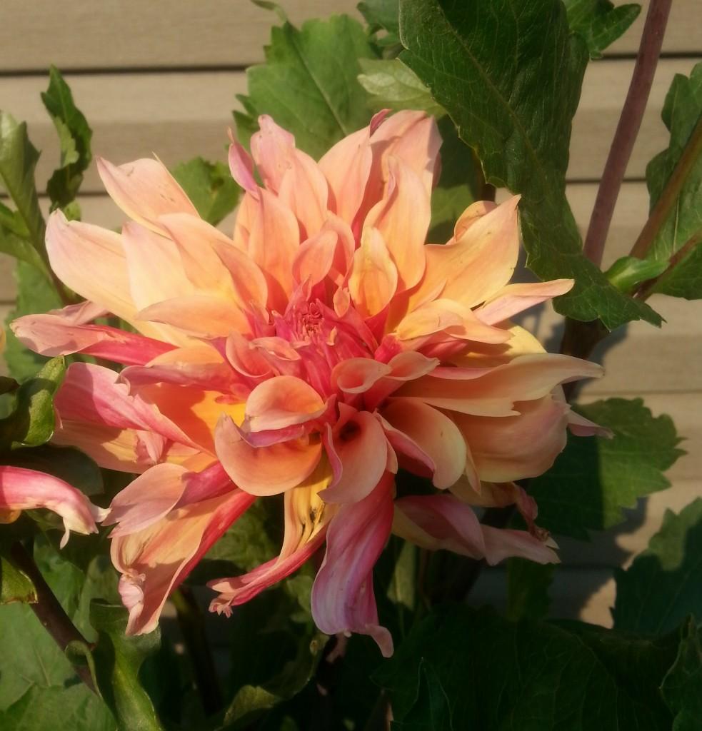 Dahlia flower, flowers in Calgary