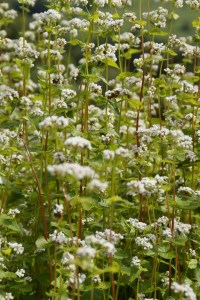 A covercrop of buckwheat will add organic material to the soil, as well as providing nectar for bees.
