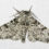 The white-bodied peppered moth. (Photo Credit: Olaf Leillinger via Wikimedia Commons).