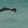 A frigatebird snatching some prey (dropped by another frigatebird) from the ocean surface (Photo Credit: Duncan Wright).