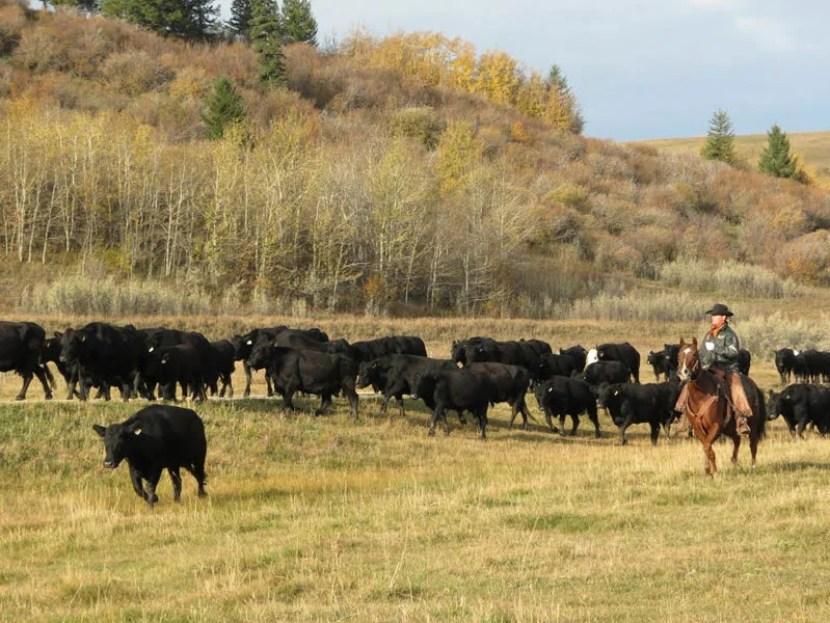 lucasia-fall_cattle_drive