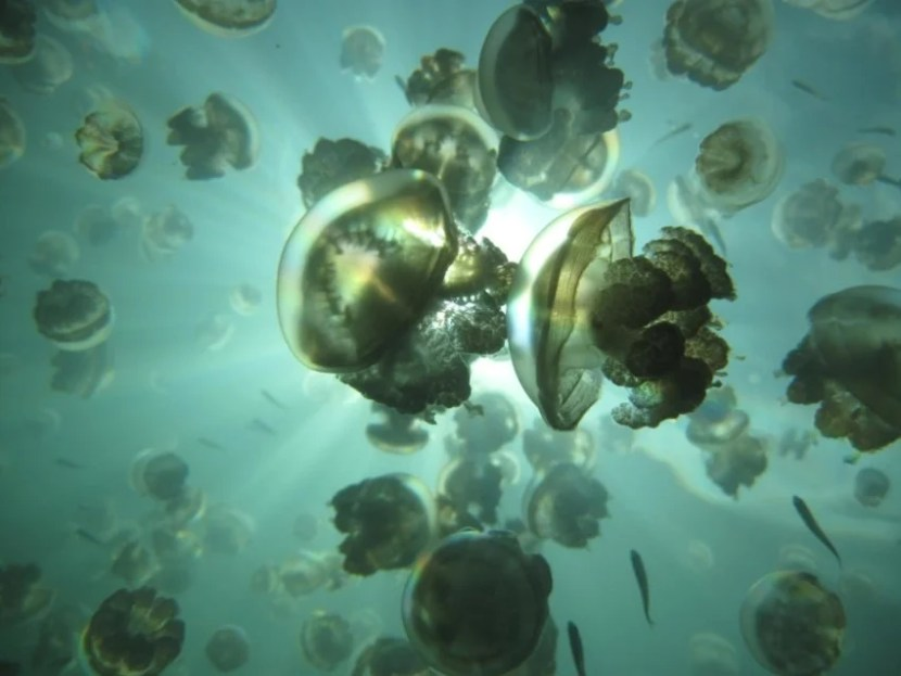 Non-stinging  jellyfish thrive in the water's off Palau. They are one of the many fauna you will see on this adventure. Photo courtesy of Boundless Journeys.