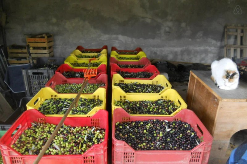 My cousins grew appealing olives and appealing cats. (Photo courtesy of airbnb.com)