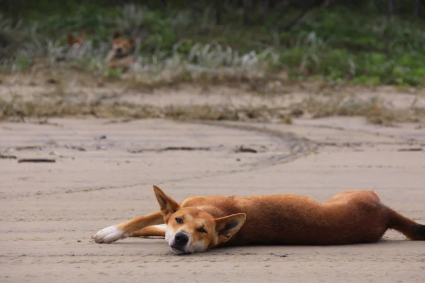 Dingo kicking back on the beach on Australia's Fraser Island. Photo courtesy of Shutterstock.