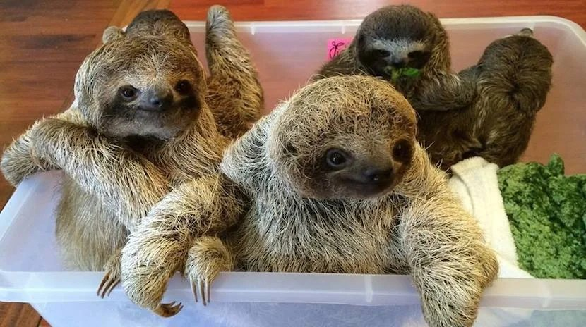 See baby sloths at the Aviarios del Caribe Sloth Sanctuary.