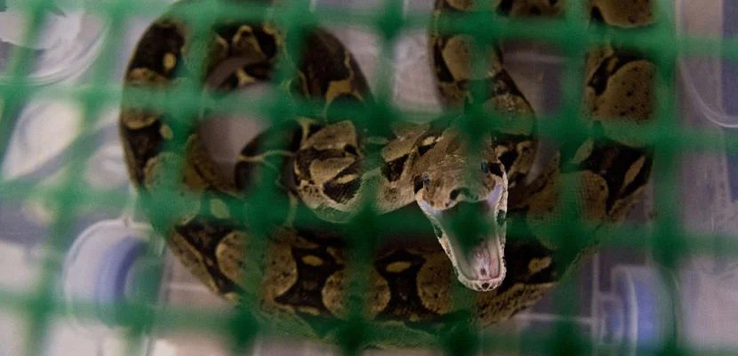 View of a boa constrictor at the state environmental agency Corporación Autonoma Regional del Valle del Cauca (CVC) on March 17, 2015, in Palmira, department of Valle del Cauca, Colombia, before being returned to its natural habitat. About 149 wild animals, including birds, primates, wild cats, turtles and snakes, which were -mostly- seized from animal traffickers and then rehabilitated at the premises of the CVC, were sent on an Air Force plane to the Colombian Amazon jungle to be released into the wild.   AFP PHOTO / LUIS ROBAYO        (Photo credit should read LUIS ROBAYO/AFP/Getty Images)