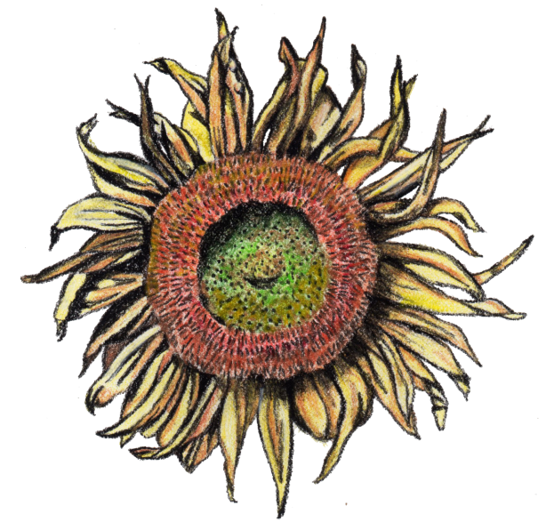 Sunflower | The Postman's Knock