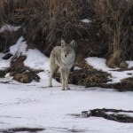 Coyotes More Territorial in January-February