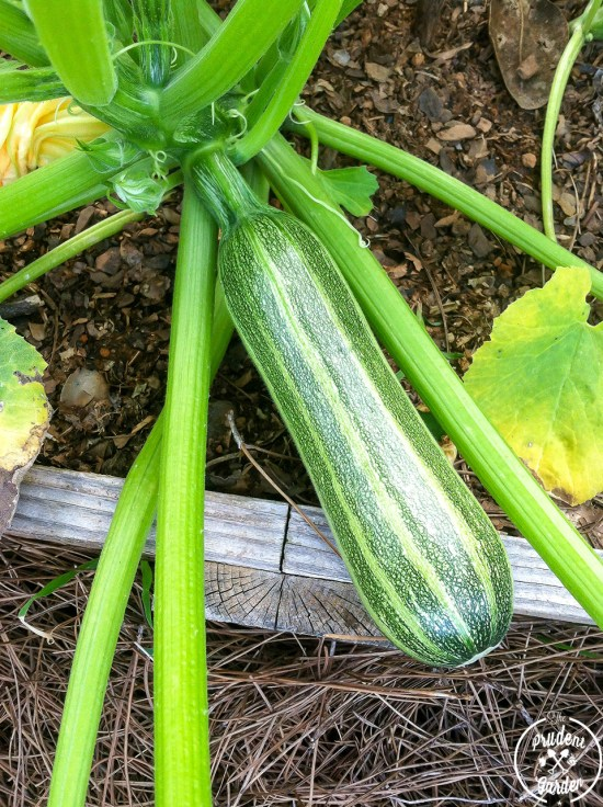 How to Get Rid of Squash Pests