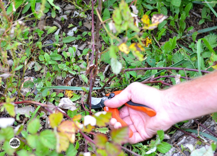 How to Prune Raspberries and Blackberries