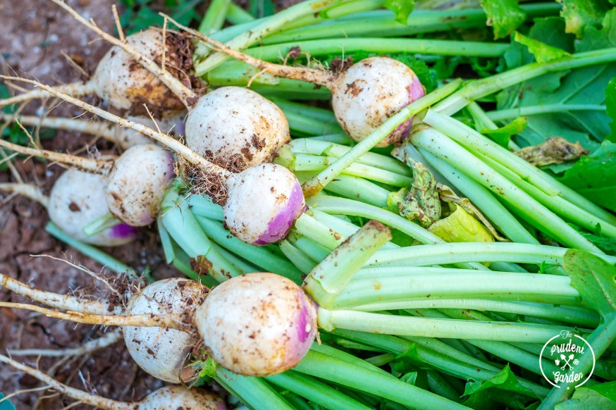 Why You Should Grow Turnips