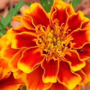 marigolds covercrop