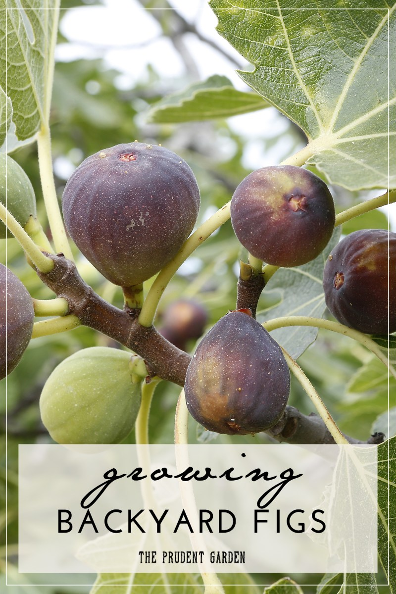 Growing Backyard Figs