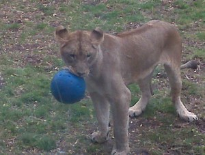 lion and ball