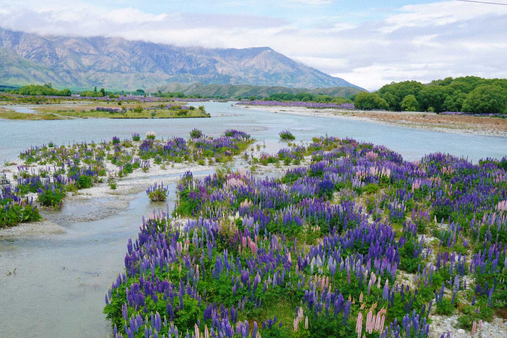 thereafterish, New Zealand River Ahuriri glacial blue river with lupuins blooming