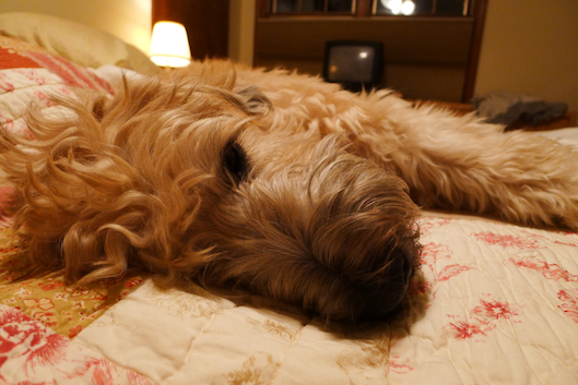 Cute Wheaten Terrier, Dogs that look like teddy Bears