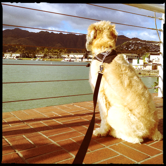 Wheaten Terrier in Hawaii Kai