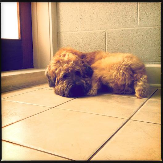 Jan Photo a Day, Instagram, Wheaten Terrier Hawaii