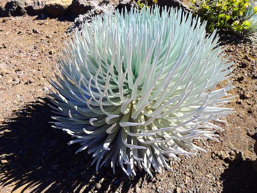 Haleakala, Silver Sword Plant, Weekend in Maui, Hawaii Travel