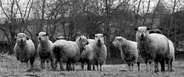 sheeps I DO GOOD   THE NORTH CIRCULAR   The Sche Report / Margaret Sche