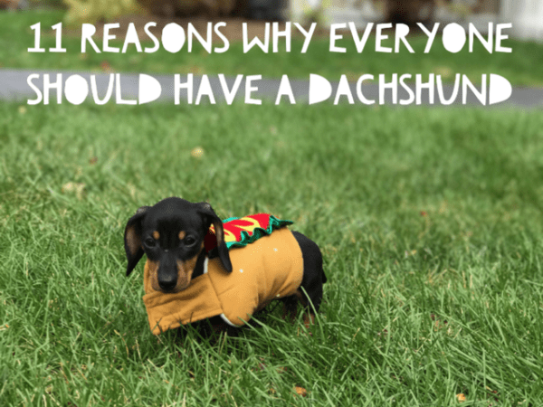 11 Reasons Why You Should Get Yourself A Dachshund