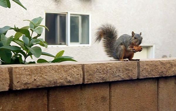 Fugitive Squirrel Lurking Somewhere in Neighborhood