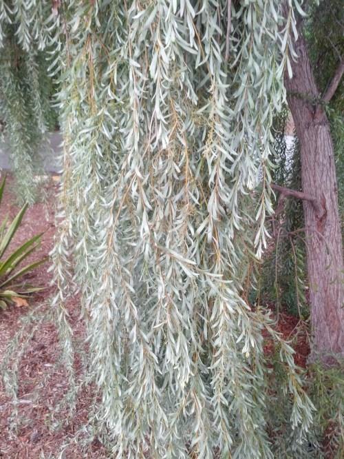 Medium Of Weeping White Pine