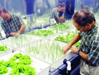 Hydroponic Onions being grown in a laboratory. (Photo courtesy of Wikimedia Commons)